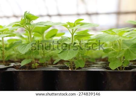Annual flower seedlings in plastic flowerpots in the modern greenhouse in spring - stock photo