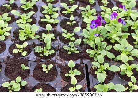 Annual flower seedlings in plastic flowerpots in the modern greenhouse in spring - stock photo