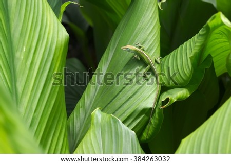 Anole Hawaiian small green Lizard in natural, wild habitat resting on bright green jungle leaves: Anolis carolinensis - stock photo