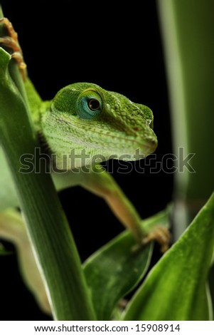 Anole lizard crawling through a plant at night - stock photo