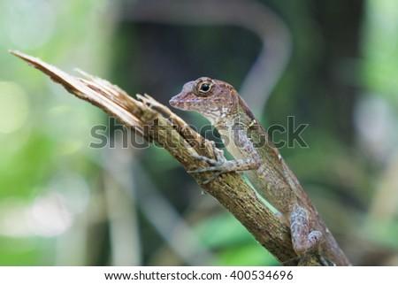 Anolis lizard in national park in Baracoa, Cuba - stock photo