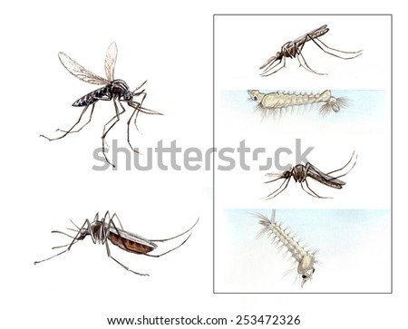 Anopheles, Culex, mosquitoes - stock photo