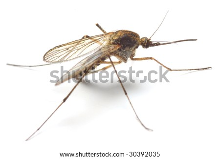 Anopheles mosquito - dangerous vehicle of infection - isolated on white background - stock photo