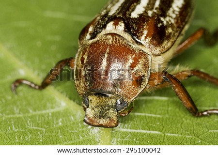 Anoxia orientalis beetle in natural habitat - stock photo