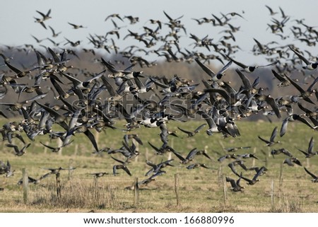 Anser albifrons, Branta leucopsis, White fronted geese, Barnacle geese - stock photo