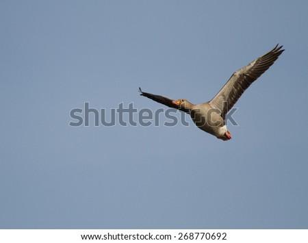 Anser anser - Greylag Goose - Grauwe gans - stock photo
