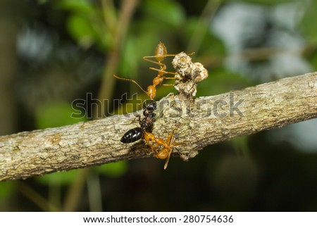 Ant - Ants carrying insects to their nests. - stock photo
