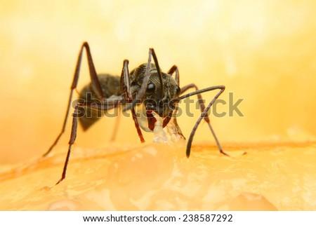 ANT EAT BANANA. - stock photo