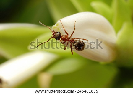 ant formica rufa on flower - stock photo