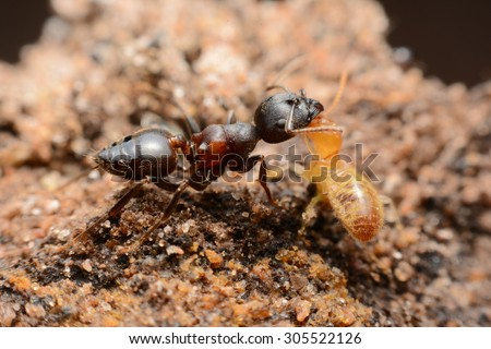 Ant is fighting against termites - stock photo