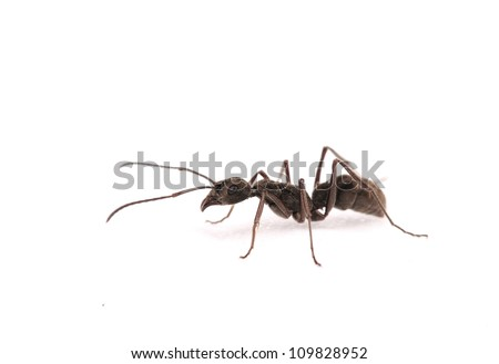 ant isolate on white background