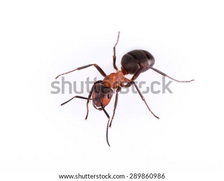 Ant isolated on white background, macro photo. - stock photo