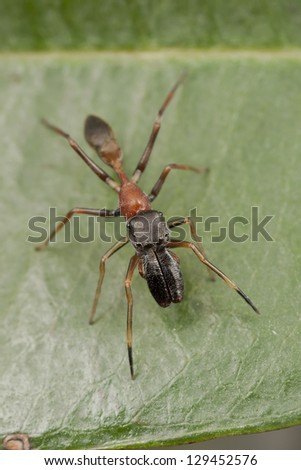 Ant Mimic Spider (Myrmarachne) that found in Malaysia. - stock photo