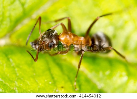 ant on a green leaf. macro