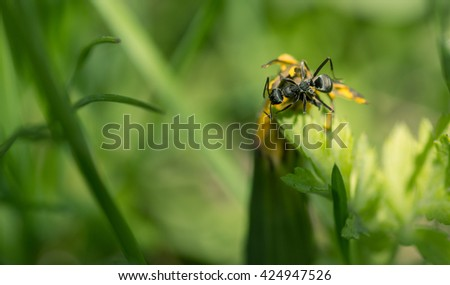 Ant on dandelion flower. Macro with shallow depth of field. - stock photo
