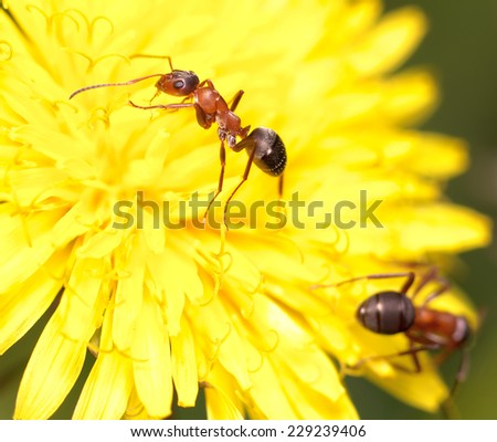 ant on flower - stock photo