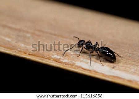 Ant on wood,macro shot - stock photo