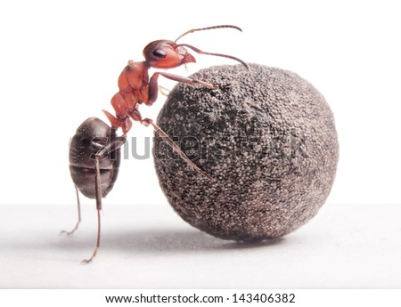 ant rolls heavy stone - stock photo