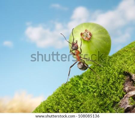 ant Sisyphus rolls berry uphill, concept - stock photo