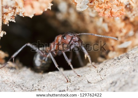Ant solder guarding the nest, extreme close-up with high magnification - stock photo