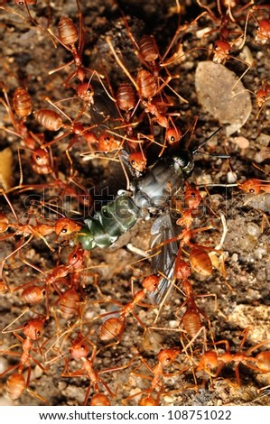 Ant troop trying to move a dead fly