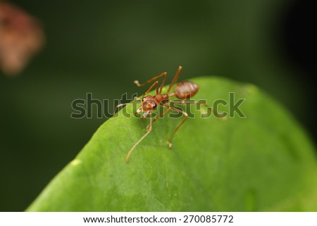 Ant walk on leaf in the garden of Thailand. - stock photo