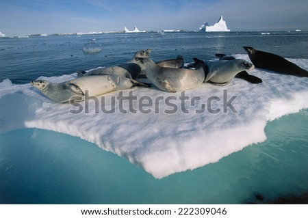 Antarctic, crabeater seals lying on ice floe - stock photo