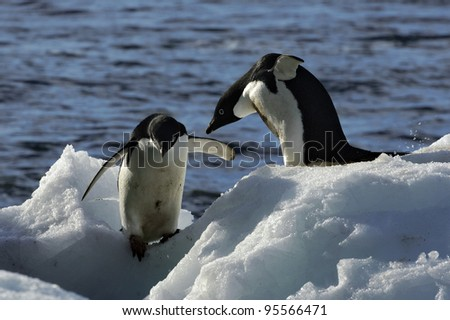Antarctic Expedition (Adelie Penguin) - stock photo