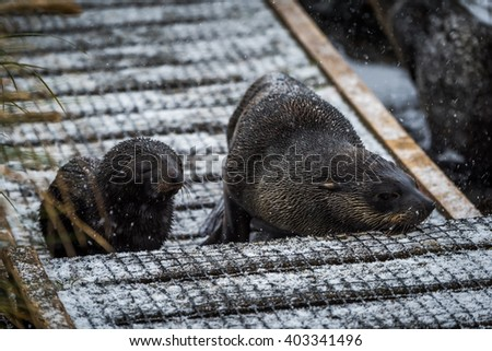 Antarctic fur seal and pup in snow