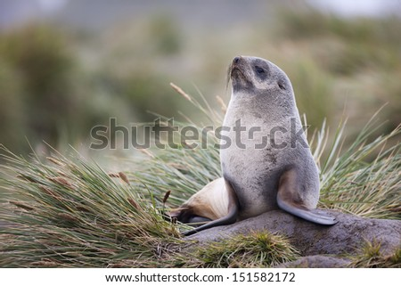 Antarctic Fur Seal (Arctocephalus gazella), female resting on tussock grass near Salisbury Plain on South Georgia Island.