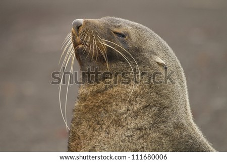 Antarctic fur seal sporting the longest whiskers in the world, Antarctica - stock photo
