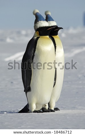 Antarctic penguin couple with caps - stock photo