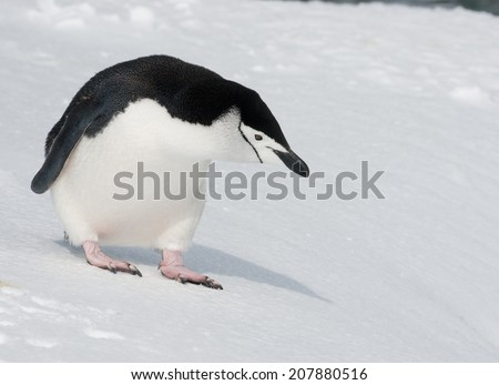 Antarctic penguin looking into the distance - stock photo