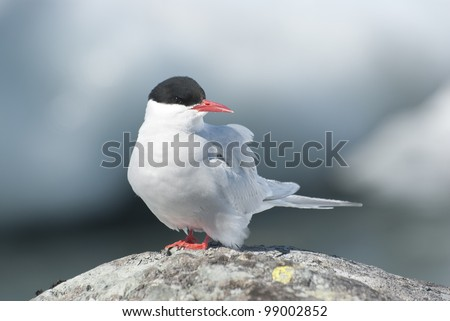 Antarctic tern sitting on a rock in Antarctica. - stock photo