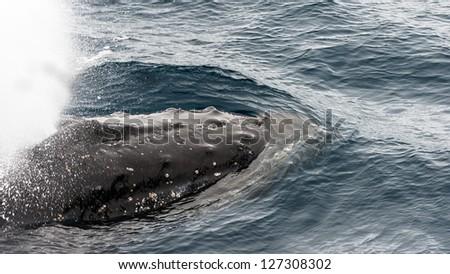 Antarctic whale - stock photo