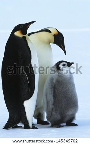 Antarctica Weddel Sea Atka Bay Emperor Penguin Family - stock photo