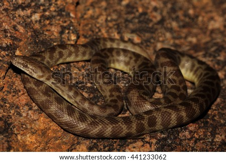 Antaresia stimsoni is a python found in Australia. The snake is named Stimson's python in honour of A. F. Stimson of the British Museum. - stock photo