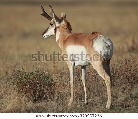 Antelope buck - stock photo