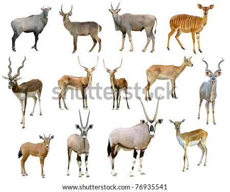 antelope collection isolated on white background - stock photo