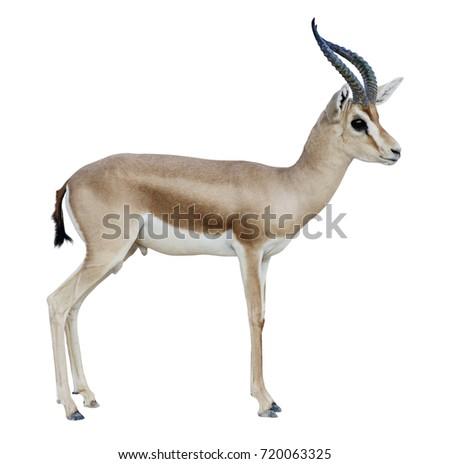 stock-photo-antelope-dorcas-gazelle-goit