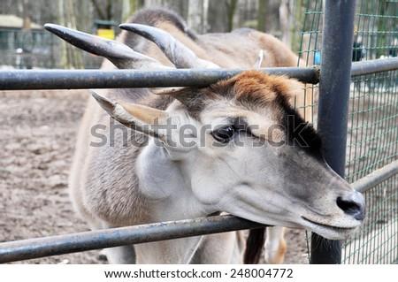 antelope kudu zoo - stock photo