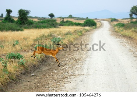 Antelope reedbuck pass the dirt road to the Rwenzori mountain range in the Queen Elizabeth national park, Uganda - stock photo