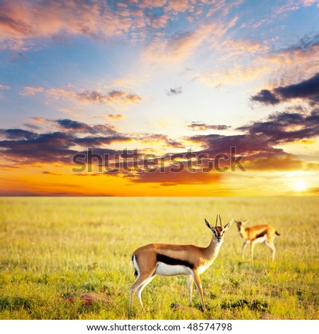 antelope springbok - stock photo