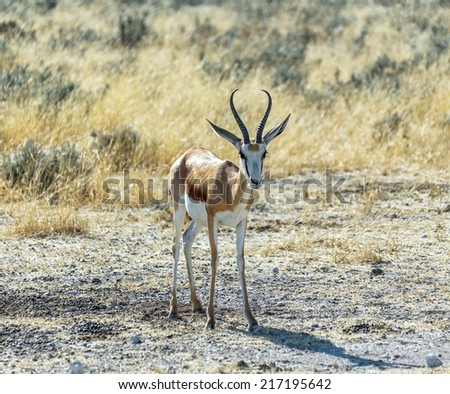 Antelope Springbok in the early morning in Etosha National Park - Namibia, South-West Africa - stock photo