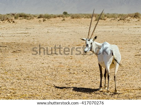Antelope, the Arabian oryx (Oryx leucoryx) in nature safari park, 35 km north of Eilat, Israel
