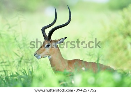 Antelopes - African Wildlife Background  - stock photo