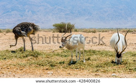 Antelopes, Arabian oryx (Oryx leucoryx) and female of of African ostrich (Struthio camelus) in desert nature reserve near Eilat, Israel  - stock photo