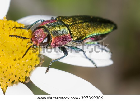 Anthaxia hungarica (Jewel beetle) - stock photo