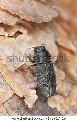 Anthaxia similis on pine wood, macro photo  - stock photo