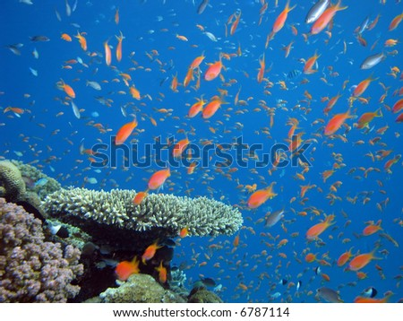 Anthias and other fish. shot in the Red Sea - stock photo